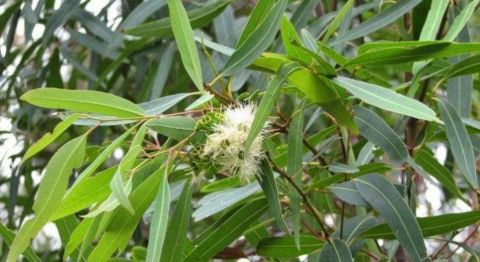 beneficios-del-eucalipto